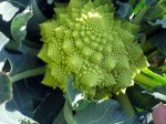 Cauliflower_Romanesco-P